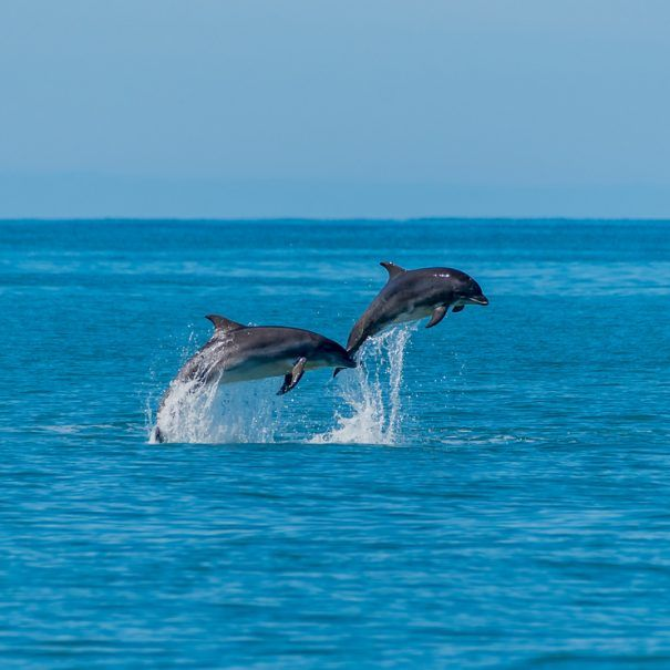 Cardigan Bay Dolphins